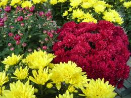 Yellow and Red Mums